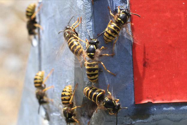 wespensoorten in Nederland - Gewone wesp